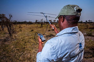 A rhino monitor from the charity Rhino Conservation Botswana uses telemetry equipment to track newly released rhinos Okavango Delta, Botswana, where efforts have begun to rebuild the rhino populations... - Neil Aldridge
