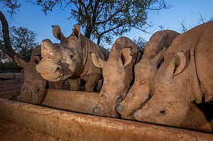 Five orphaned White rhinoceros (Ceratotherium simum) calves feed from a trough at dusk at the Rhino Revolution orphanage near Hoedspruit, South Africa. - Neil Aldridge