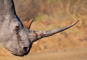 White rhinoceros (Ceratotherium simum) with a long horn, Marakele National Park, South Africa.  -  Neil Aldridge