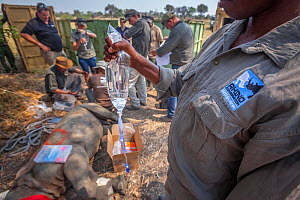 A member of the Rhino Conservation Botswana team holds a drip attached to a young White rhinoceros (Ceratotherium simum) while vets provide the young rhino with care after its translocation from South... - Neil Aldridge