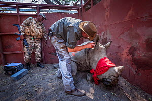 A vet cuts identification notches into the ear of a sedated White rhinoceros (Ceratotherium simum) in a secure enclosure known as a boma as part of a translocation operation to bring rhinos from South... - Neil Aldridge