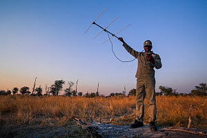 A rhino monitor from the charity Rhino Conservation Botswana uses telemetry equipment to track newly released rhinos in Okavango Delta, Botswana, where efforts have begun to rebuild the rhino populati... - Neil Aldridge