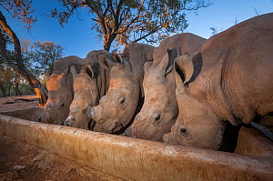 Five orphaned White rhinoceros (Ceratotherium simum) calves feed from a trough at dusk at the Rhino Revolution orphanage near Hoedspruit, South Africa. The mothers of these rhinos were killed by poach...  -  Neil Aldridge