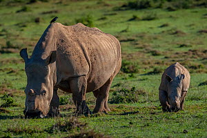 Southern White rhinoceros (Ceratotherium simum) known as Thandi who survived a poaching attack shows her healed face where poachers cut off her horns while walking alongside her calf, Kariega Game Res... - Neil Aldridge