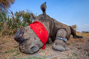 Blindfolded and tranquilised adult White rhinoceros (Ceratotherium simum) with a tracking tag lies and recovers in the Okavango Delta, northern Botswana, following a translocation operation that invol... - Neil Aldridge