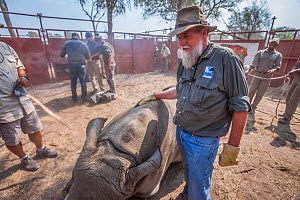 Conservationist and Director of Rhino Conservation Botswana Map Ives stands in a boma with a sedated White rhinoceros (Ceratotherium simum) during a translocation operation to bring rhinos from South... - Neil Aldridge