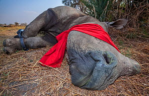Blindfolded and tranquilised adult White rhinoceros (Ceratotherium simum) with tracking tags lies and recovers in the Okavango Delta, northern Botswana, following a translocation operation that involv... - Neil Aldridge