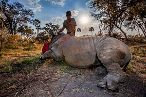 Vet prepares to wake up a tranquillised White rhinoceros (Ceratotherium simum) upon its release into Okavango Delta, Botswana, following an operation to translocate rhinos from South Africa to rebuild... - Neil Aldridge