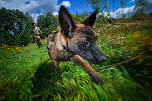 A young Belgian Shepherd anti-poaching dog is trained to follow a scent trail at an Animals Saving Animals training facility in England before being deployed to Africa to protect endangered species. A...  -  Neil Aldridge