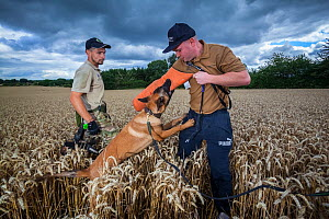 A Belgian Shepherd anti-poaching dog undergoes training at an Animals Saving Animals training facility in England before being deployed to Africa to protect endangered species. August 2017.  -  Neil Aldridge