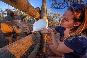 Orphaned White rhinoceros (Ceratotherium simum) calf is bottle fed by its veterinary foster mother at the Rhino Revolution orphanage in South Africa where young rhinos are brought for care, safety and...  -  Neil Aldridge