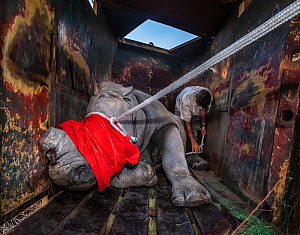 A vet ties ropes around the foot and head of a blindfolded and partially drugged White rhinoceros (Ceratotherium simum) after a long journey to Botswana from South Africa. - Neil Aldridge