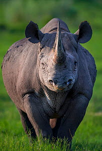 Black rhinoceros (Diceros bicornis) stands in evening light on Chief's Island in Okavango Delta, Botswana,. This rhino was released in the Okavango Delta as part of efforts to rebuild the rhino popula...  -  Neil Aldridge