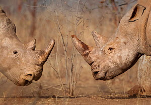 White rhinoceros (Ceratotherium simum) male and female, face to face, Mosi Oa Tunya National Park, Zambia.  -  Neil Aldridge