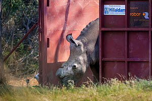 White rhinoceros (Ceratotherium simum) leaves a secure enclosure known as a boma in the Okavango Delta, northern Botswana, after being translocated from South Africa as part of efforts to rebuild Bots... - Neil Aldridge