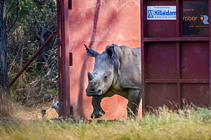 A young White rhinoceros (Ceratotherium simum) leaves a secure enclosure known as a boma in the Okavango Delta, northern Botswana, after being translocated from South Africa as part of efforts to rebu...  -  Neil Aldridge