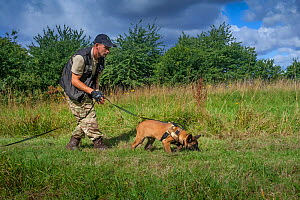 A young Belgian Shepherd anti-poaching dog training at an Animals Saving Animals training facility in England before being deployed to Africa to protect endangered species. August 2017.  -  Neil Aldridge