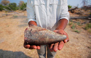 Horn of a White rhinoceros (Ceratotherium simum). More than three rhinos are killed every day in South Africa alone for their horn which is trafficked and sold illegally at prices greater than that of... - Neil Aldridge