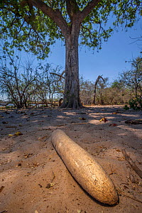 Giant fruit of the sausage tree (Kigelia africana) lies on the ground underneath its parent tree in the Okavango Delta, Botswana. Historically, the Black rhino has been one of the main seed dispersal... - Neil Aldridge