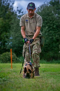 A young Belgian Shepherd anti-poaching dog is trained to follow a scent trail at an Animals Saving Animals training facility in England before being deployed to Africa to protect endangered species.  -  Neil Aldridge