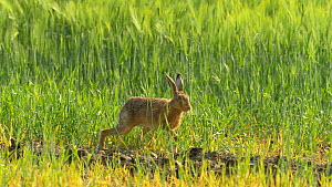 Brown hare (Lepus europeans) feeding on barley, Bedfordshire, England, UK, June. - Dave Bevan