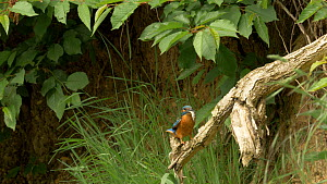 Slow motion clip of a male Kingfisher (Alcedo atthis) with a jack Pike (Esox lucius) prey near nest site, Bedfordshire, England, UK, July. - Dave Bevan