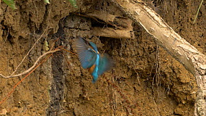 Slow motion clip of a male Kingfisher (Alcedo atthis) taking fish into nest hole before exiting backwards, Bedfordshire, England, UK, July. - Dave Bevan