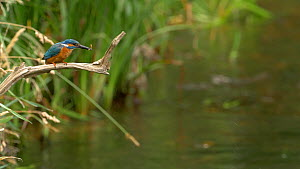 Slow motion clip of a male Kingfisher (Alcedo atthis) eating a fish, Bedfordshire, England, UK, July. - Dave Bevan