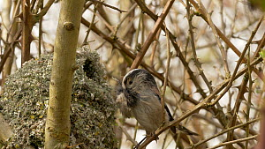 Long tailed tit (Aegithalos caudates) nest building, Bedfordshire, England, UK, April. - Dave Bevan
