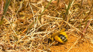 Pantaloon bee (Dasypoda hurtles) entering burrow with pollen, Bedfordshire, England, UK, August. - Dave Bevan