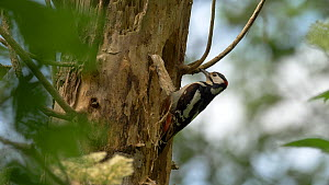 Male Great spotted woodpecker (Dendrocpas major) feeding young at nest hole, Bedfordshire, England, UK, June. - Dave Bevan