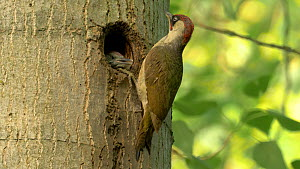 Male Green woodpecker (Picus viridis) feeding young at nest hole, Bedfordshire, England, UK, June.  -  Brian Bevan