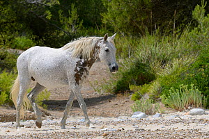Feral horse (Equus caballus) walking on a remote sandy beach, near Arta, Mallorca, Spain, August.  -  Nick Upton