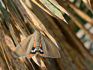 Palm moth (Paysandisia archon) resting on palm leaves, Mallorca, Spain, August. - Nick Upton