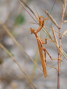 European dwarf mantis (Ameles spallanzania / Ameles africana) hunting on grass stems on a beach, Sardinia, Italy, June.  -  Nick Upton
