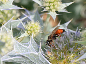Sand-loving / Square-headed wasp (Tachysphex costae) feeding on Sea holly flowers (Eryngium maritimum) on a beach, Sardinia, Italy, June. - Nick Upton