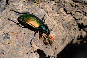 Forest caterpillar hunter (Calosoma sycophanta) feeding on a Gypsy moth caterpillar (Lymantria dispar) it has killed in a Holm oak tree, Bacu Goloritze ravine, Baunei, Sardinia, Italy, May.  -  Nick Upton