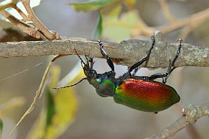 Forest caterpillar hunter (Calosoma sycophanta), a ground beetle hanging upside down as it forages in a Holm oak (Quercus ilex) tree in search of Gypsy moth caterpillar (Lymantria dispar) prey, Bacu G...  -  Nick Upton