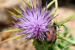 Corsican burnet (Zygaena corsica / Mesembrynus corsica) an endemic species of Corsica and Sardinia feeding on thistle flowers, Gennargentu National Park, Sardinia, Italy, June.  -  Nick Upton