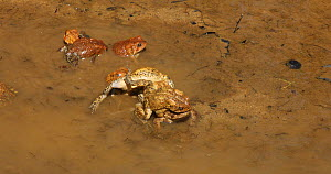 American toads (Anaxyrus americanus), males competing to mate with female, Maryland, USA, April. - John Cancalosi