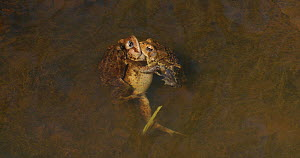 American toads (Anaxyrus americanus), two males attempting to mate with female, Maryland, USA, April. - John Cancalosi