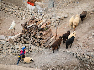 Children helping a sheep (Ovis aries) coming back to the village of Kibber in the afternoon, Spiti valley, Cold Desert Biosphere Reserve, Himalaya mountains, Himachal Pradesh, India, February - Oriol  Alamany