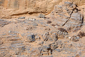 Snow Leopard (Panthera uncia) female with two cubs resting for the day on a canyon cliff at 4400 metres, Spiti valley, Cold Desert Biosphere Reserve, Himalaya mountains, Himachal Pradesh, India, Febru...  -  Oriol  Alamany