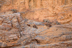 Snow Leopard (Panthera uncia) female with two cubs climbing a canyon cliff at dusk at 4400 metres, Spiti valley, Cold Desert Biosphere Reserve, Himalaya mountains, Himachal Pradesh, India, February  -  Oriol  Alamany