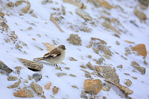 Black-winged Snowfinch (Montifringilla adamsi) on the snow in Spiti valley, Cold Desert Biosphere Reserve, Himalaya mountains, Himachal Pradesh, India, February - Oriol  Alamany