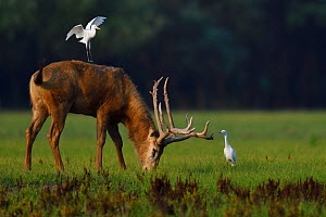 Pere David's deer / Milu (Elaphurus davidianus) stag with Cattle egret (Bubulcus ibis) Hubei Tian'ezhou Milu National Nature Reserve, Shishou, Hubei, China  -  Staffan Widstrand / Wild Wonders of China