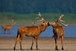 Pere David's deer / Milu (Elaphurus davidianus) stags grooming each other, Hubei Tian'ezhou Milu National Nature Reserve, Shishou, Hubei, China  -  Staffan Widstrand / Wild Wonders of China