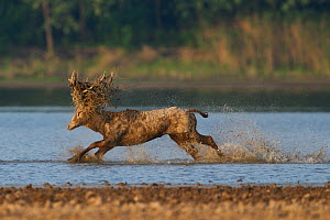 Pere David's deer / Milu (Elaphurus davidianus), stag running through the water of the Yangtze river, Hubei Tian'ezhou Milu National Nature Reserve, Shishou, Hubei, China.  -  Staffan Widstrand / Wild Wonders of China