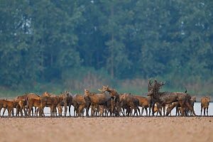 Pere David's deer / Milu (Elaphurus davidianus) herd, on the shore of the Yangtze river in the Hubei Tian'ezhou Milu National Nature Reserve, Shishou, Hubei, China.  -  Staffan Widstrand / Wild Wonders of China