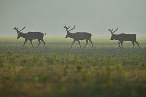 Pere David's deer / Milu (Elaphurus davidianus) three stags walking on grass in the morning mist, Hubei Tian'ezhou Milu National Nature Reserve, Shishou, Hubei, China  -  Staffan Widstrand / Wild Wonders of China